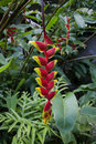 Tropical Flower: Heliconia Rostrata, Lobster Claw Royalty Free Stock Photography