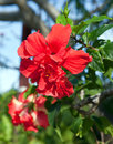 Tropical flower hibiscus the red Stock Image