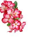 Pink Bignonia.