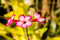 Tropical flower pink adenium desert rose flower background Royalty Free Stock Images