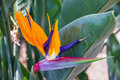 Tropical flower strelitzia, bird of paradise, Madeira island, Fu Royalty Free Stock Photo