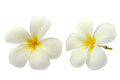Tropical flowers frangipani Stock Images