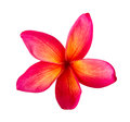 Tropical flowers frangipani plumeria isolated on white background Stock Photo