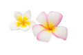 Tropical flowers frangipani plumeria isolated on white background Stock Images