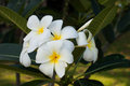 Tropical flowers frangipani plumeria in rayong thailand Stock Photography