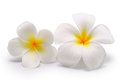 Tropical flowers frangipani plumeria on white background isolated Royalty Free Stock Images