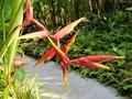 Tropical flowers, Lobster claws, Heliconia irrasa Red/Yellow