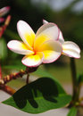 Tropical flowers plumeria white frangipani lighted up by a sun Royalty Free Stock Image