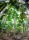 Tropical forest of palm trees, Seychelles Royalty Free Stock Images
