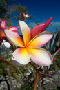 Tropical frangipani flower Royalty Free Stock Image