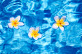 Tropical frangipani flower in water floating blue Royalty Free Stock Images
