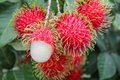 Tropical fruit, Rambutan on tree Royalty Free Stock Photo