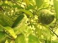 Tropical fruit tangerine