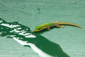 Tropical gecko isolated on a table top drinking Royalty Free Stock Photography