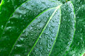 Tropical green leaf - abstract background Royalty Free Stock Photography