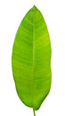 Tropical green leaf Royalty Free Stock Photo
