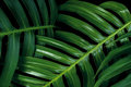 Tropical green leaf textures on black background, Monstera philodendron plant close up for wall art decoration. Royalty Free Stock Photo