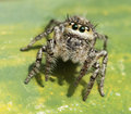 Tropical Jumping Spider Royalty Free Stock Photo
