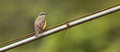 Tropical Kingbird on a wire Stock Photography
