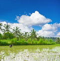 Tropical landscape with rice filed palm trees and blue sky green cloudy Royalty Free Stock Photo