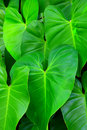 Tropical leaf texture Royalty Free Stock Photo