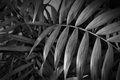 Tropical leaves close up. floral background. black and white image Royalty Free Stock Photo
