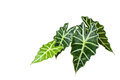 Tropical leaves on white background Royalty Free Stock Photo