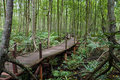 A tropical mangrove forest with boardwalk