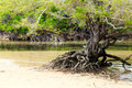 Tropical mangrove vegetation of the Royalty Free Stock Photography