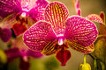 Tropical Orchid Flower Blossoms Royalty Free Stock Photo