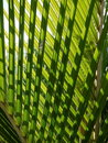 Tropical palm: nikau fronds Royalty Free Stock Photo