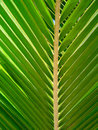 Tropical palm tree leaf Royalty Free Stock Image