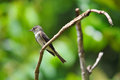 Tropical pewee tiny perched on a tree branches ready to catch flies inside the rain forest of panama Stock Photos