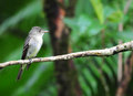 Tropical pewee tiny perched on a tree branches ready to catch flies inside the rain forest of panama Royalty Free Stock Photo
