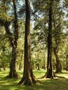 Tropical Pine Forest Royalty Free Stock Photo