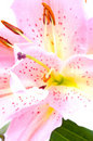 Tropical pink lilly Stock Image