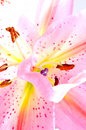 Tropical pink lilly Royalty Free Stock Photo