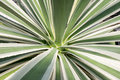 Tropical plant from above green fleshy leaves of Royalty Free Stock Photo