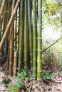 Tropical plant high bamboo tree in nature