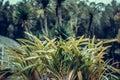 Tropical plants background, Bali island, Indonesia.