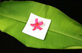 Tropical plumeria flower on a large green leaf Royalty Free Stock Image