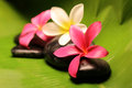 Tropical plumeria flowers on stone Royalty Free Stock Images