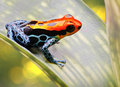 Tropical poison arrow frog bright red and blue exotic poisonous animal amazon rain forest in peru these beautiful amphibians Stock Photo