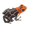 Tropical poison arrow frog isolated small exotic amphibian from amazon jungle in peru kept as pet animal in a jungle terrarium Royalty Free Stock Photos