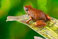 Tropical poison dart frog ecuador amazon rainforest exotic amphibian from the deep rain forest a small poisonous animal with Stock Photos