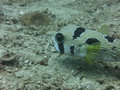 Tropical porcupinefish met when diving at racha island phuket thailand Stock Images