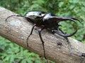 Tropical Rainforest Beetle Royalty Free Stock Photos