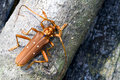 Tropical Rainforest Longhorn Beetle Royalty Free Stock Photo