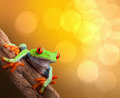 Tropical red eyed tree frog costa rica on vibrant background in rainforest treefrog agalychnis callydrias in jungle bright vivid Royalty Free Stock Photography