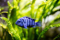 Tropical reef blue fish Royalty Free Stock Photo